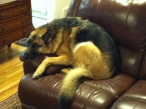 German Sheperd on a sofa